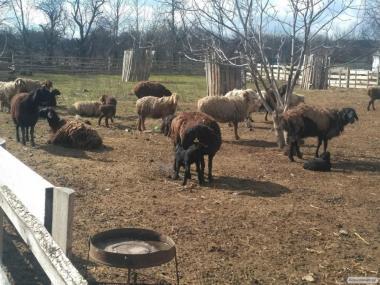 Продам овцы гісарської породы породы с ягнятами
