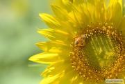 Продам, Купити насіння Магроселект Молдова (Magroselect )