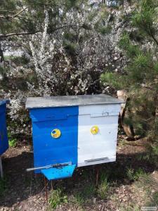 Продам пчёлы породы Бакфаст и Украинская степная
