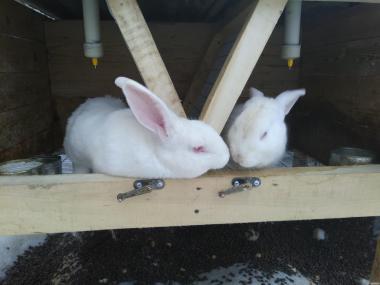 Крольчата. Продам кролики Термонської породы. Кролики термонці. Термони
