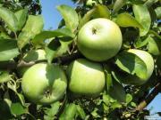 Продам яблоки по выгодной цене