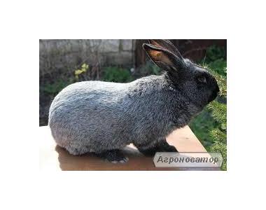 Кролики калифорнийской породы, полтавское серебро.