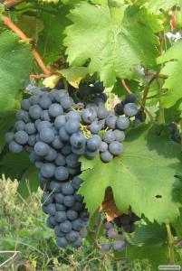 Продам домашнє вино натуральне червоне