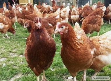 Молоді кури ломан-браун