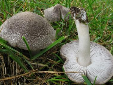 Мицелий Рядовки наземной / Рядовка землистая ( Tricholoma terreum)