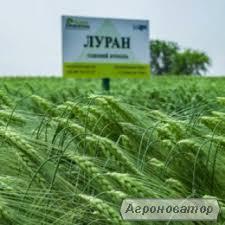 Пшениця озима насіння Еліта та 1 репродукція, ячмінь озимий