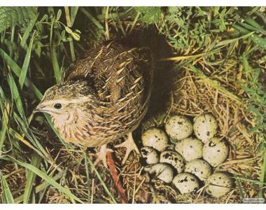 Перепелинные яйца ,инкубационные