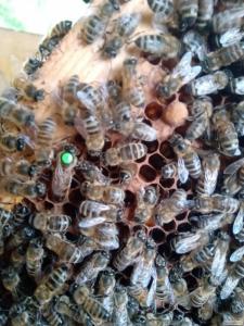 Пчелопакеты ( матки ) карпатка почтой