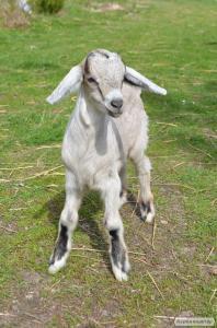 50% нубійський козлик від удойної кози
