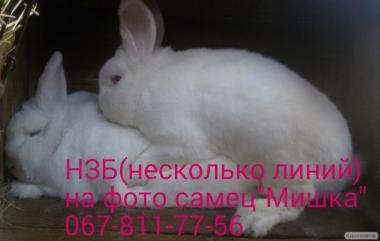Племінні кролики НЗБ (новозеландські Білі) і Каліфорнійські(Поляк)