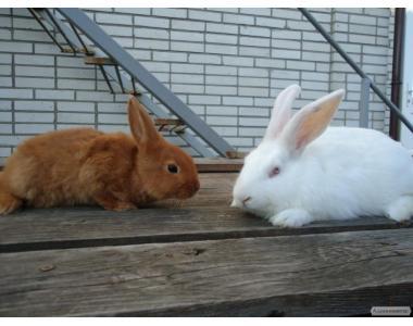 Кролики білий паннон та НЗК