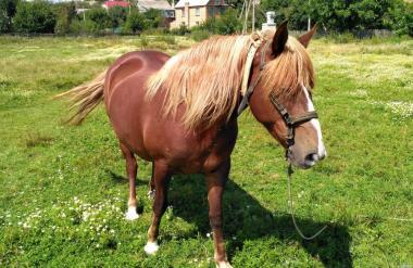 Продам коня, кінь, робоча кобила