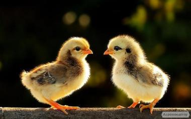 Продажа цыплят мясо-яичных пород.