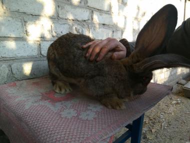 Кролики з Обер, БСС