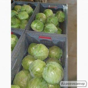 Продаём молодую капусту ОПТ