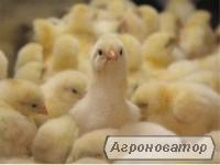 Добові та підрощені курчата породи Мастер Грей