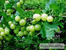 Сорт аґрусу: Уральський смарагд