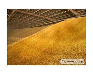 Продается кукуруза фуражная 1000т Волынская область