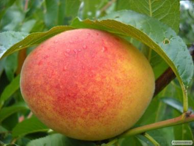 Саджанці персика вегетуючі посадка все літо