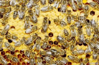 Продам бджоло-пакети порода карпатка