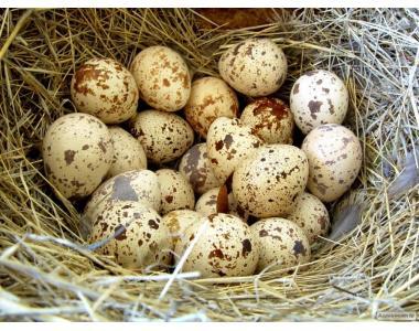 Продам перепелині яйця та м'ясо (домашні!)