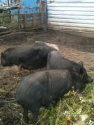 Свиноматки вьетнамской породы