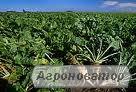 насіння цукрових буряків гібрид - Авторитетний, стійкий до раундап
