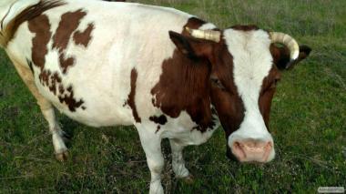 ПРОДАЕТСЯ корова с шестым теленком.