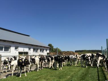 Коровы породы Голштинская