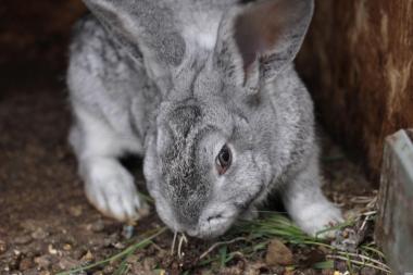 Кролики НЗК, Большое Светлое Серебро