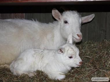Продам кіз, козенят, кізок