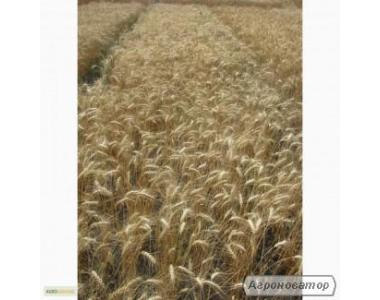 Семена пшеницы озимой - сорт Спасовка. Элита и 1 репродукция