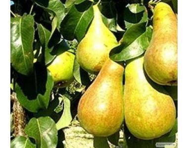 Саджанці груші, сорт