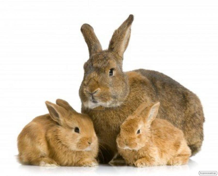 Комбікорм для кроликів від 1.5 місяців, відгодівля та лактуючих кролематок