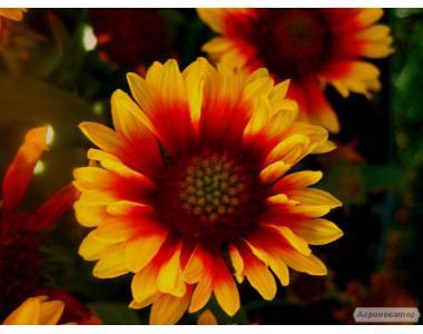 Гайлардия, саженцы и семена, красивые цветы