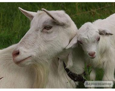 Продаются козы с хорошим удоем, козлята, выбор