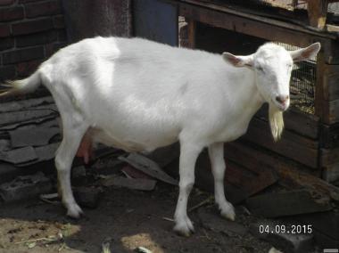 коза, 2 окіт