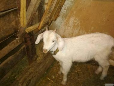 продається козел англо-нубийской породи