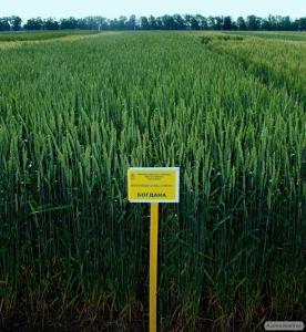 озимая пшеница Богдана (элита)