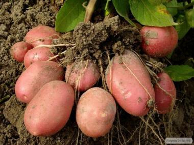 Домашний картофель, картошка с бесплатной доставкой по г. Винница