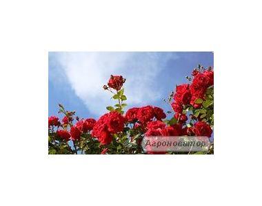 чайно-гібридні троянди в асортименті