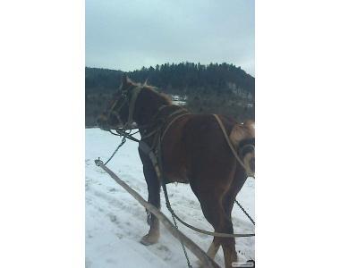 Продам коня Орлик