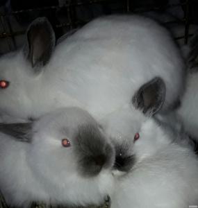 Продам чистопородных племенных кроликов породы Калифорнийские(2 линии)