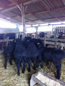 Курдючьи вівці
