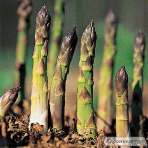 Розсада, саджанці, кореневища зеленої та білої спаржі
