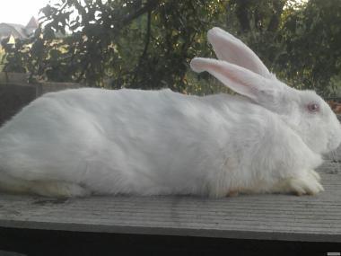 Кролики Термонский Белый
