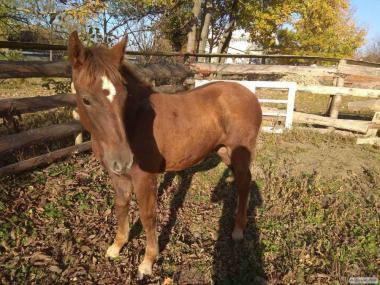 Продам конів ваговозів