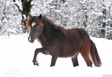 поні кобила Ластівка