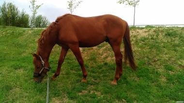 Срочно продам лошадь - молодого жеребца для спорта