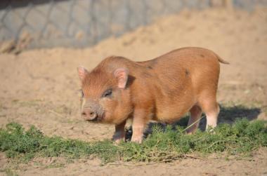 Продажа свиньи мини-пиг. Вес от 30 до 60 кг